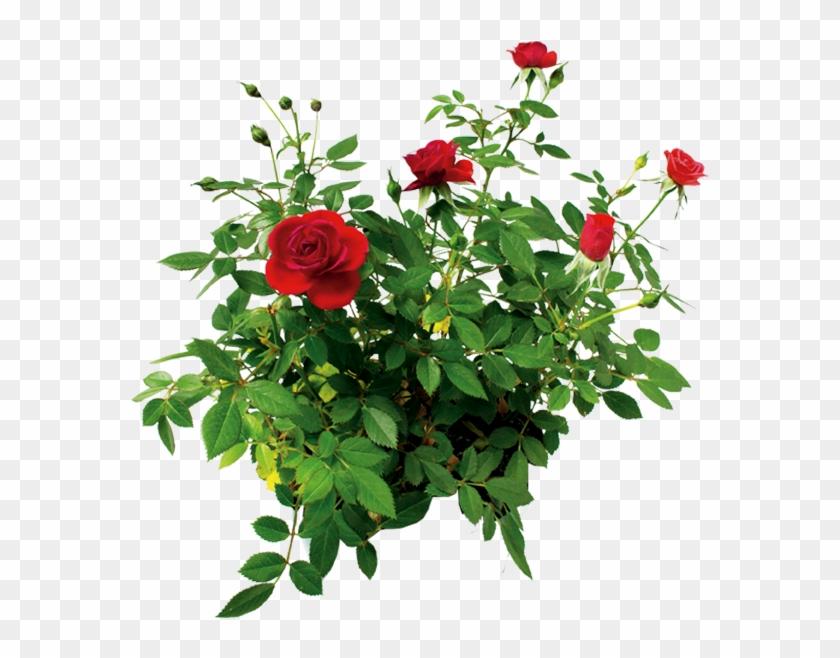 Bush Rose png