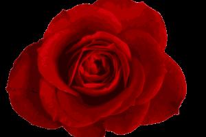 Rose Png Transparent Background 2019