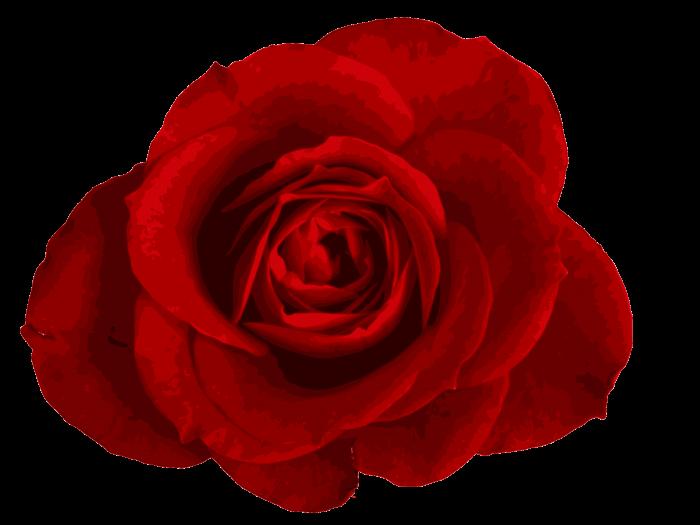 Rose Png Transparent Background 2020