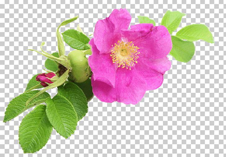 Rugosa Rose Png