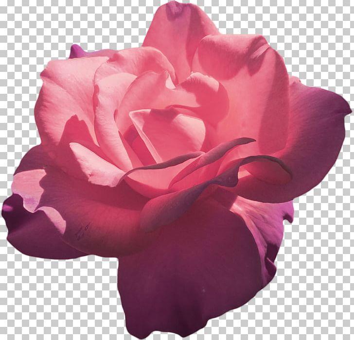 TEA Rose png
